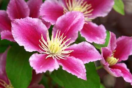 Beautiful pink purple blooming clematis flowers in closeup flora background Standard-Bild