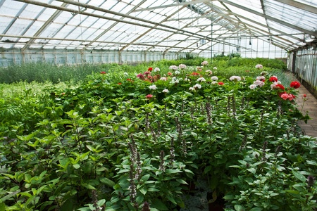 Inside a plastic covered horticulture greenhouse of garden center selling flowers and plants Stock Photo