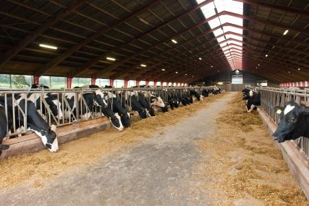 Moderne Bauernhof mit Milchkühen essen Heu Kuhstall Standard-Bild - 11481778
