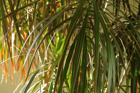 Home plant Dracaena marginata in closeup view gardening background image