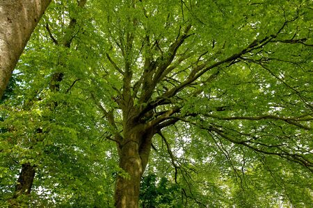 tall tree: Beech canopy lush green leaves tree view perfect nature forest background