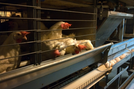 Modern egg laying chicken poultry coop farm Stock Photo - 16026133