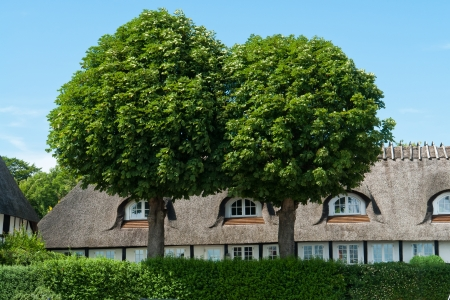 country house style: Two beautiful lush green oak trees in front of a country style house