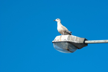 Young seagull by the beach standing on a dirty street lamp photo