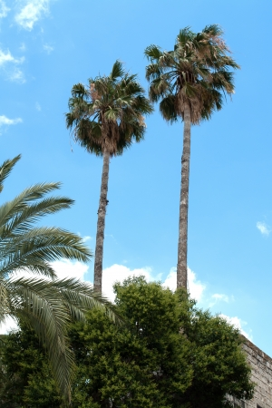 cycadaceae: Beautiful tall Tropical exotic  Palm trees with clear blue summer sky
