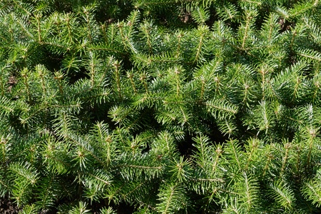 Closeup of Christmas pine fir tree branches background