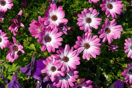 pink flowers: Blooming beautiful Pink and white gerbera daisy flowers in a summer garden Stock Photo