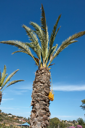 cycadaceae: Beautiful Tropical exotic  Palm tree with clear blue summer sky Stock Photo