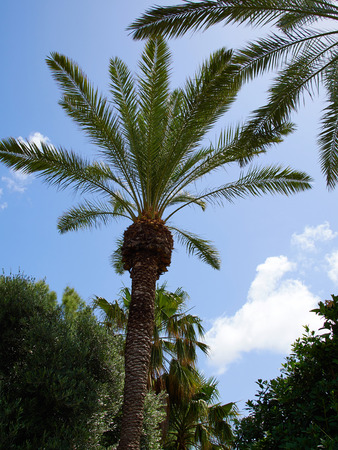 cycadaceae: Beautiful Tropical exotic  Palm trees with clear blue summer sky Stock Photo