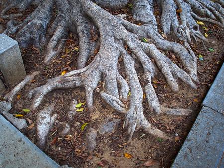 banyan tree: Deep spread roots of a Ficus Larata  Fiddle Leaf Fig Banyan tree
