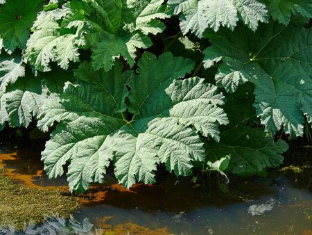 leafed: Exotic large leafed plant Gunnera Manicata known as Brazilian giant-rhubarb in a beautiful tropical garden Stock Photo