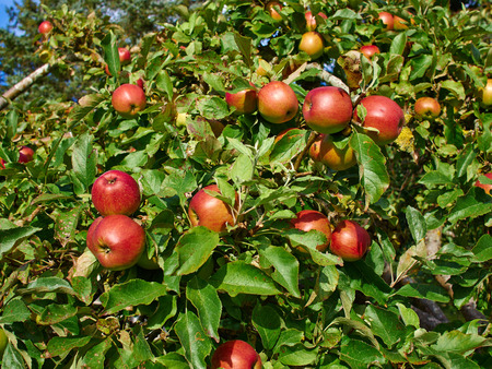 ripen: Bunch of ripen apples on a branch of a tree
