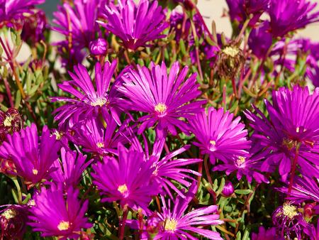 Blooming beautiful Pink  gerbera daisy flowers in a summer garden
