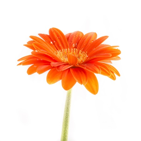 Gerber Flower  Orange gerbera flower close up photo   Stock Photo