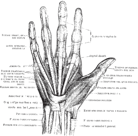 anatomy of the finger: This image is a vector illustration and can be scaled to any size without loss of resolution.