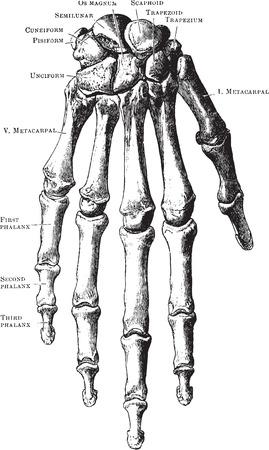 skelett mensch: Dieses Bild ist eine Vektor-Illustration und kann zu jeder Gr�sse ge�ndert werden ohne Verlust der Aufl�sung.