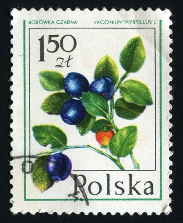 ericaceae: POLAND -CIRCA 1977: Bilberry is any of several species of low-growing shrubs in the genus Vaccinium (family Ericaceae), bearing edible fruits, circa 1977.