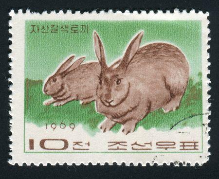 wilding: NORTH KOREA - CIRCA 1969: Two grey rabbits play, circa 1969.