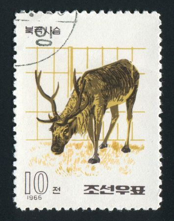 NORTH KOREA - CIRCA 1966: The polar deer eats a grass, circa 1966. photo