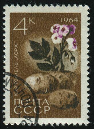 RUSSIA - CIRCA 1964: stamp printed by Russia, shows potato, circa 1964. photo