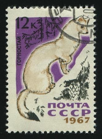 ermine: RUSSIA - CIRCA 1967: sello impreso por Rusia, muestra Ermine, alrededor del a�o 1967.