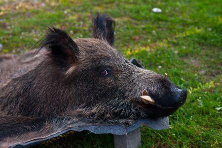 Stuffed wild pig head. Skin killed a wild boar. photo