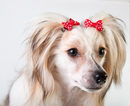 Groomed Chinese Crested Dog sitting - Powderpuff, 10 month old. photo