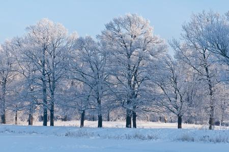 Woods im Schnee. Kalten Wintertag in Sibirien. Bäume im Schnee. Standard-Bild - 8823119