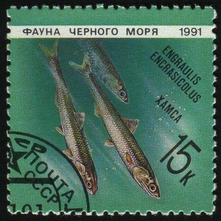 engraulis: RUSSIA - CIRCA 1991: stamp printed by Russia, shows Marine Life, Engraulis encrasicolus, circa 1991. Stock Photo