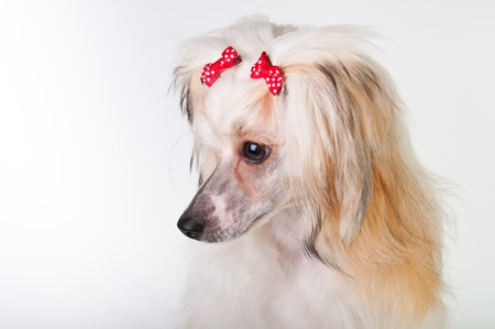 groomed: Groomed Chinese Crested Dog sitting - Powderpuff, 10 month old.