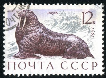 RUSSIA - CIRCA 1971: stamp printed by Russia, shows Walrus, circa 1971. Stock Photo - 9161627