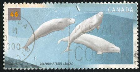 cetaceans: CANADA - CIRCA 2000: stamp printed by Canada, shows Cetaceans, Delphinapterus leucas, circa 2000 Stock Photo