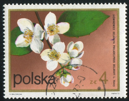 POLAND - CIRCA 1972: stamp printed by Poland, shows flower, Mock orange, circa 1972. Stock Photo - 10001001