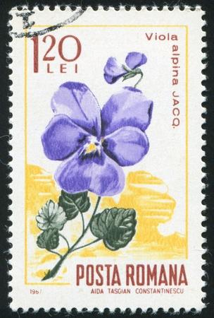 ROMANIA - CIRCA 1967: stamp printed by Romania, show Alpine violet, circa 1967. Stock Photo - 10070075
