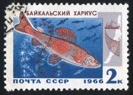 grayling: Rusia - alrededor de 1966: Sello impreso por Rusia, muestra Baikal Grayling, alrededor de 1966