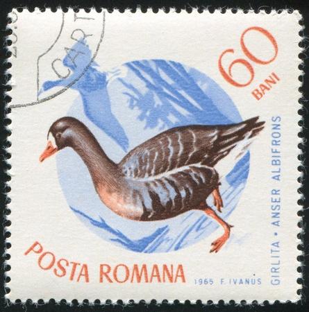 ROMANIA - CIRCA 1965: stamp printed by Romania, show White fronted goose, circa 1965. photo