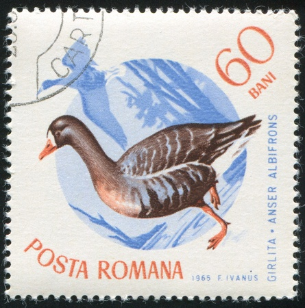 white fronted goose: ROMANIA - CIRCA 1965: stamp printed by Romania, show White fronted goose, circa 1965. Stock Photo