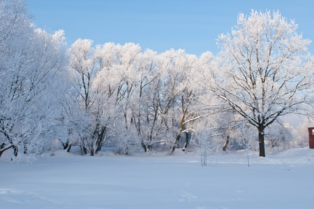 Woods in the snow. Cold winter day in Siberia. Trees in the snow. photo
