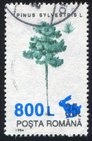pinus sylvestris: ROMANIA - CIRCA 1994: stamp printed by Romania, show Pinus sylvestris, circa 1994.