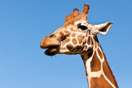The head of the African giraffe, the blue sky. photo