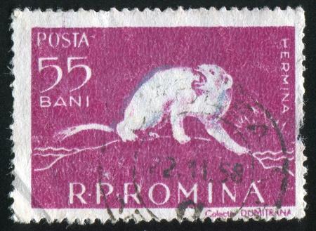 stoat: ROMANIA - CIRCA 1957: stamp printed by Romania, shows Ermine, circa 1957 Stock Photo