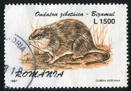 muskrat: ROMANIA - CIRCA 1997: stamp printed by Romania, shows Ondatra zibethica, circa 1997 Stock Photo