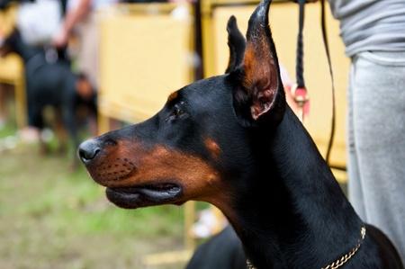 The Doberman Pinscher is a breed of domestic dog originally developed around 1890 by Karl Friedrich Louis Dobermann. Stock Photo - 10892323