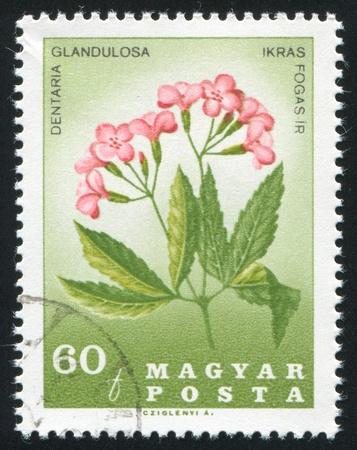 HUNGARY - CIRCA 1967: stamp printed by Hungary, shows Dentaria glandulosa, circa 1967 Stock Photo - 11176100