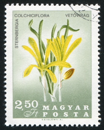 HUNGARY - CIRCA 1967: stamp printed by Hungary, shows Sternbergia colchiciflora, circa 1967 Stock Photo - 11176109