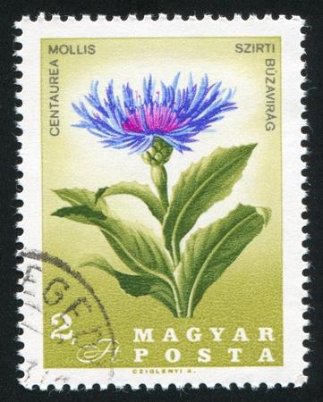 HUNGARY - CIRCA 1967: stamp printed by Hungary, shows Centaurea mollis, circa 1967 Stock Photo - 11176122
