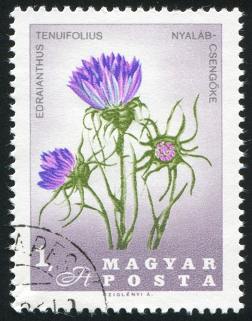 HUNGARY - CIRCA 1967: stamp printed by Hungary, shows Edraianthus tenuifolius, circa 1967 Stock Photo - 11176098