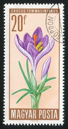 HUNGARY - CIRCA 1967: stamp printed by Hungary, shows Crocus, circa 1967 Stock Photo - 11176180