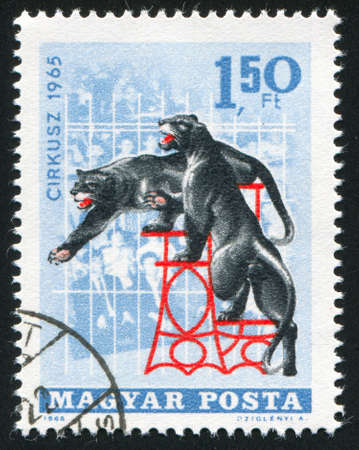 catamountain: HUNGARY - CIRCA 1965: stamp printed by Hungary, shows black leopards in circus, circa 1965