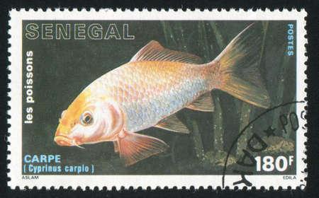 SENEGAL - CIRCA 1988: stamp printed by Senegal, shows Common carp, circa 1988 Stock Photo - 12594676